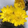 やっと春「フクジュソウ」が咲いたよ