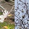 英勝寺の3月の花々. 昨日,快晴で暖かな日和の中(今日はみぞれ!),鎌倉英勝寺の花々に会ってきました.フキノトウとヒマラヤユキノシタがお出迎え.梅や椿が終わった後の境内には,モミジの新芽が映えていました.今盛りの花は,ユキノシタ,ミツマタ,そして春を知らせる花としてよく知られるコブシ.英勝寺からの帰路,何本かのハクモクレンにも出会いました..