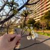 浦安でも2021桜開花?