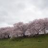 2017年 淀川背割堤の桜も満開