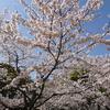 満開の桜を撮りに行ってきました!