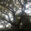 神秘的なクスノキに圧倒される、諫早公園 長崎県諫早市