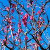 隅田公園の紅梅