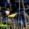 印旛沼のヨシゴイ飛翔