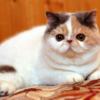 猫の種類 ~エキゾチックショートヘア~