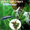 (熱帯魚 水草)ビギナースタートセット エンペラー・テトラ(6匹)+ミックス・エンゼル Sサイズ(2匹) 北海道・九州航空便要保温