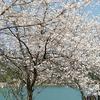 洋食亭宇土店のオムライス。ナッツと桜満開萩尾溜池へ(・ω・)