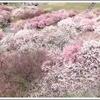 春を感じるいなべ市梅林公園梅まつり2019 開花状況やアクセス方法は?