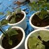 ■憧れのベランダ菜園へ。セロリ・キャベツ・ブロッコリー・島唐辛子を育て始めました!