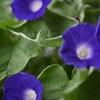 朝顔の開花を微速度撮影