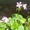 カタバミ Oxalis corniculata