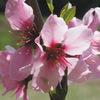今日の誕生花「アーモンド」珍しい木だが桃の花とそっくりな花!