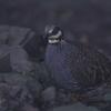 ミヤマテッケイ(Taiwan Partridge)
