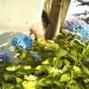 珍しい!紫陽花,続