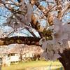 今年も工房近くの公園の桜が咲きました