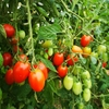 トマト、大量消費!