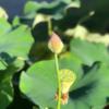 ハスの花から学ぶこと