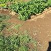 冬野菜も順調に育っています。