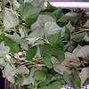 ドクダミ茶原材料採集と、ゲンキでどんどん伸び放題の草々枝々といっしょに地べたを這いずりまわってみました