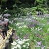 初の真夏日 咲き競うハナショウブ 明治神宮御苑