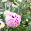 新潟の食用菊「かきのもと」の季節