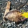 国府津で2泊3日,釣りしてみた!ウミガメ死亡編🐧。 17年8月。