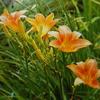 7月4日誕生日の花と花言葉