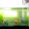 梅雨前の金魚たち