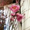 桃の花あります♪