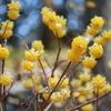 鶏足山(茨城県城里町)で5分咲きの「ミツマタ」ってどんな花?