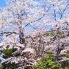 平成最後の桜とレイ 🌸2019 、4月🌸