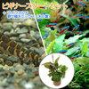 (熱帯魚)(水草)ビギナースタートセット カージナル・テトラ(10匹) +クーリーローチ(3匹) 北海道・九州航空便要保温