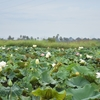 【カンボジア女子一人旅】満開のハス畑O(≧▽≦)O♪