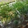 出窓のクレソンの成長が順調かも。ズボラ水耕栽培。