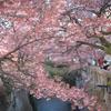糸川桜まつりにギリギリ間に合った