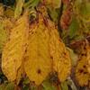 我が家の庭の「秋」、小さな紅葉。