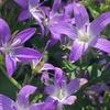さらに迫力を増した花壇の青い星々! 2年目のカンパニュラ・アルペンブルー