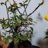 その後の梅の盆栽