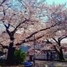桜が咲くと、また湧いてくるブログなのである。