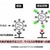 北里大と花王など 新型コロナに感染しないVHH抗体の取得に成功!