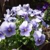窓辺花壇のビオラも開花