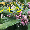 【2019年6・7月】鉢植えレモンの生育状況 - 摘果が済んで、果実がゆっくりと育ち始めた