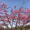 三ツ池公園へお散歩しながら桜開花直後のお花見をしてきた