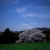 【天体撮影記 第129夜】 長崎県  月光下に佇む桜とオリオン