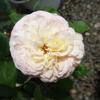 「フリュイ」の二番花