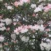 総合農事センターの石楠花