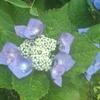 アジサイとガーベラが同時に咲く