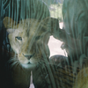 ライオンとぼくの親心