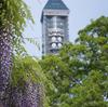フジ Wisteria floribunda