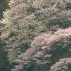 95 山 桜